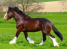 Shirský kůň