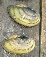 Škeble rybničná