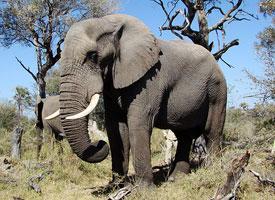Slon africký stepní