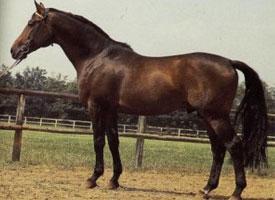 Trakénský kůň
