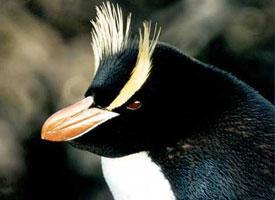 Tučňák chocholatý