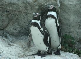 Tučňák Humboldtův