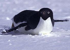 Tučňák kroužkový