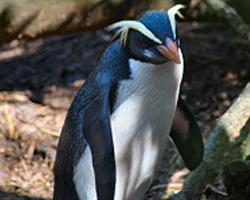 Tučňák novozélandský