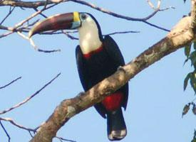 Tukan rudozobý