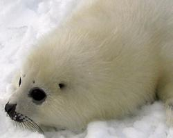 Tuleň grónský