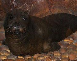 Tuleň středomořský