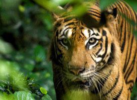 Tygr balijský