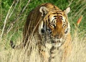Tygr čínský
