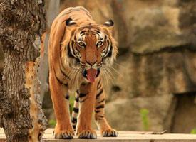 Tygr indočínský