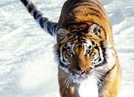 Tygr javánský