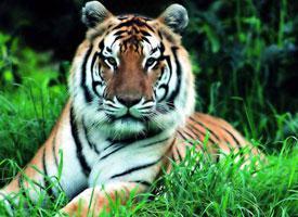 Tygr jihočínský