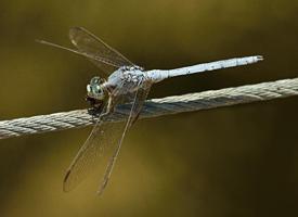 Vážka hnědoskvrnná