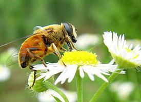 Včela obrovská