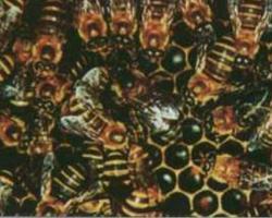 Včela sundská