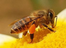 Včela východní