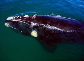 Velryba jižní