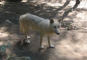 Vlk kanadský