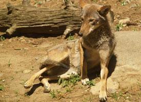 Vlk rudohnědý