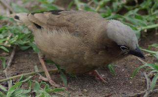 Vrabec Arnaudův