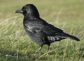 Vrána černá