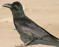 Vrána hrubozobá