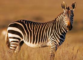 Zebra kapská