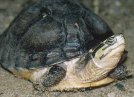 Želva amboinská