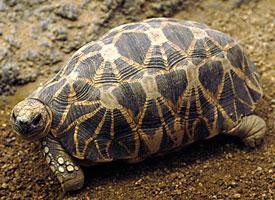Želva barmská