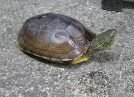 Želva Cantorova