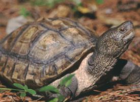Želva černavá