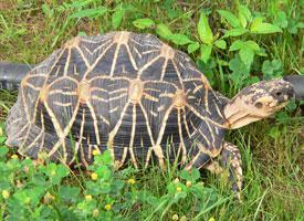 Želva hvězdnatá