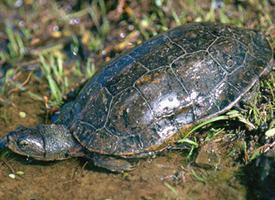 Želva kaspická