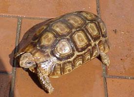 Želva kloubnatá