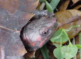 Želva ostnitá