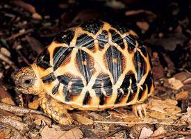 Želva paprsčitá