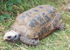 Želva podlouhlá