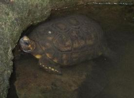Želva pralesní