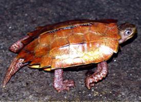Želva Spenglerova