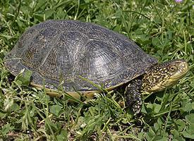 Želva vroubená