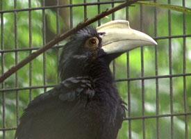 Zoborožec malajský