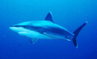 Žralok bělocípý