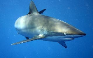Žralok hedvábný