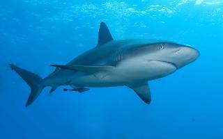 Žralok Perezův