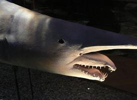 Žralok šotek