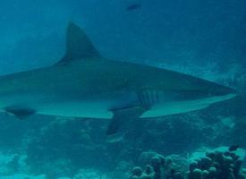 Žralok spanilý