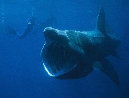 Žralok veliký