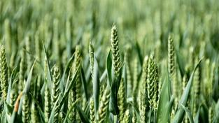 Zemědělský sektor letos vydělá 10 miliard korun, odhaduje prezident Agrární komory Veleba Foto:SXC