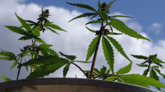 Konopí se bude první rok dovážet ze zahraničí, pak by se mělo začít pěstovat v České republice. Foto:SXC