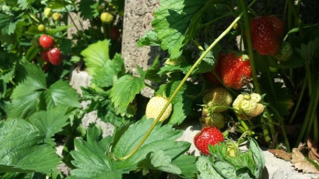 Nejedná se rozhodně o všechny jahodové plantáže, ale o ty, které redakce mediafaxu nalezla, Foto:SXC